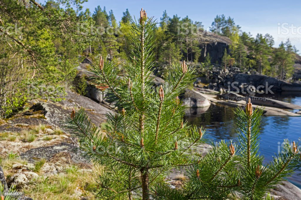 A small pine on the shore of the Ladoga Lake. stock photo