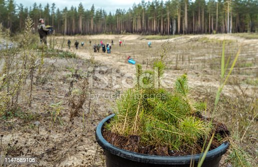 A seedlings of pine trees in bucket are ready to planting at a forest plantation. A volunteers are planting the seedlings on a empty forest glade. Shooting at cloudy autumn day