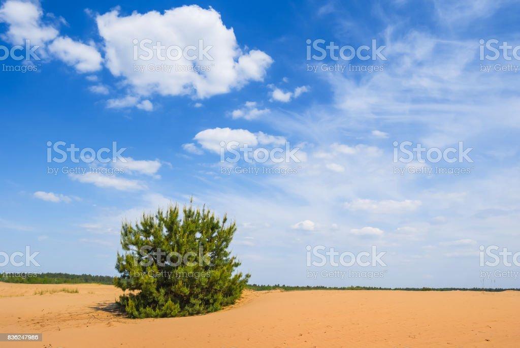 small pine tree among a sand desert stock photo