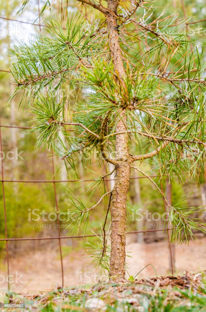 Small pine tree closeup in autumn with wire mesh fence royalty-free stock photo
