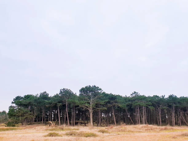 A small pine tree forest stock photo