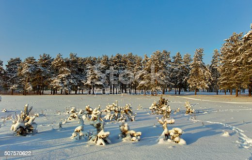 small pine trees covered with snow.
