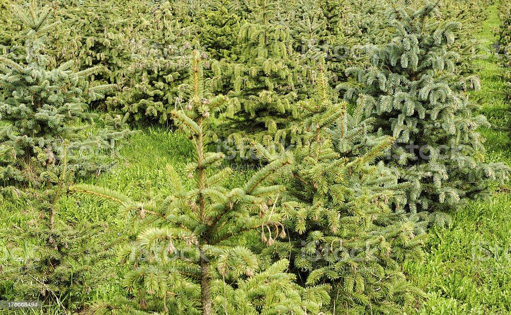 small pine trees royalty-free stock photo