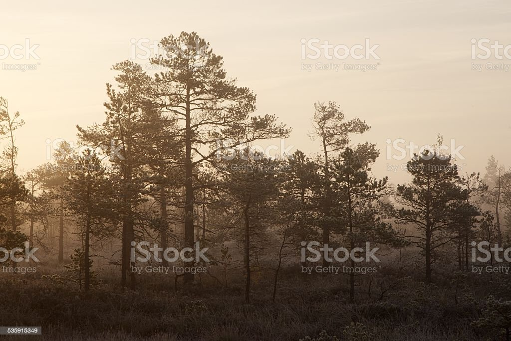Small pine trees stock photo