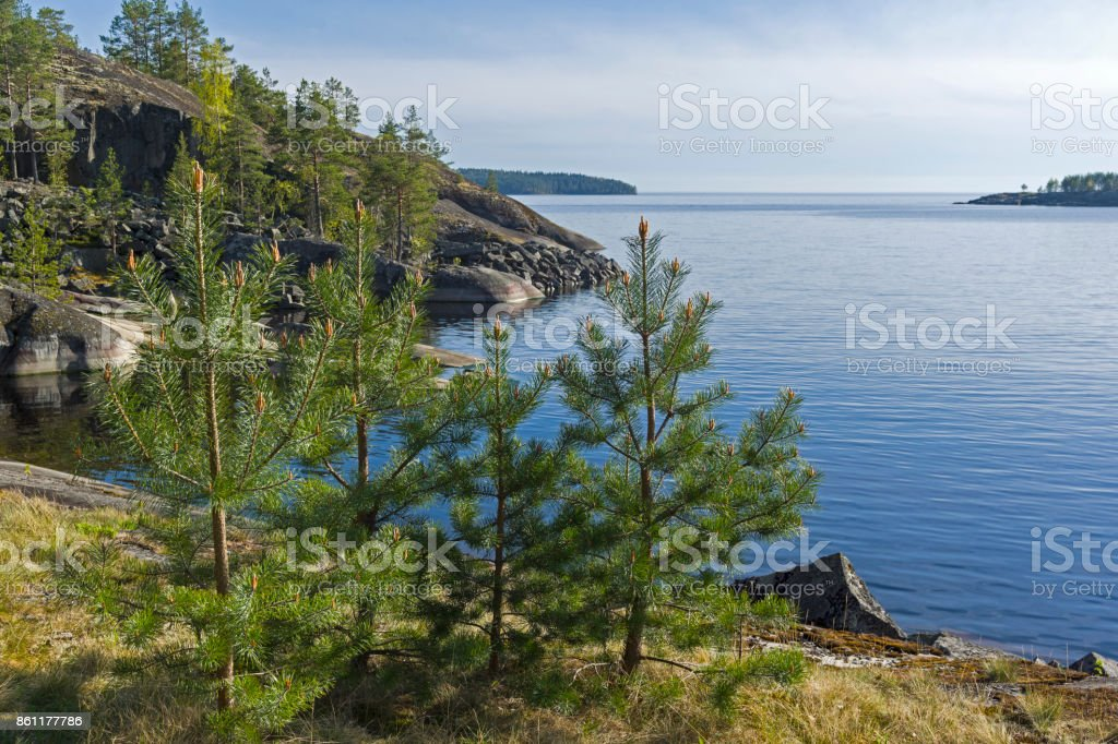 Small pines on the shore of the Ladoga Lake. stock photo