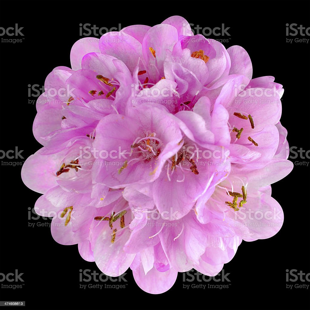 Small Pink Flower Ball Dombeya Isolated On Black Stock Photo