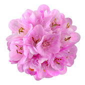 Small Pink Flower - Ball Dombeya Isolated on White Background