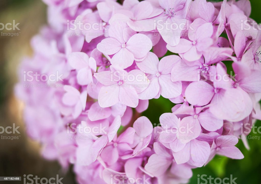 small pink flower blooms diffused royalty-free stock photo