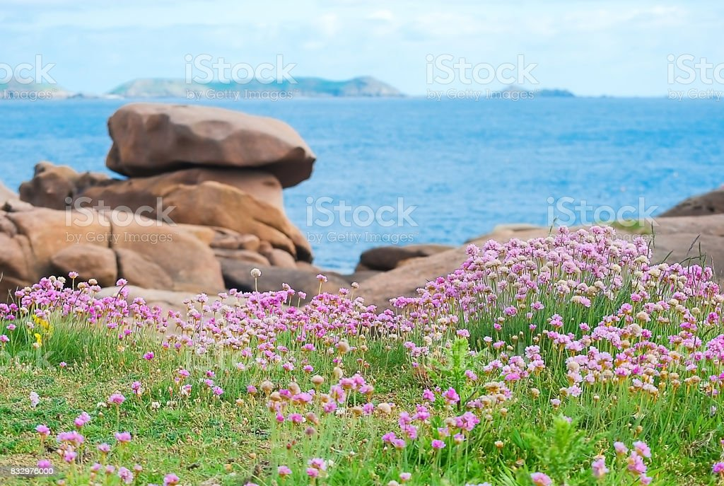 Small pink flower or sea thrist or thrift armeria growing seaside in summer stock photo