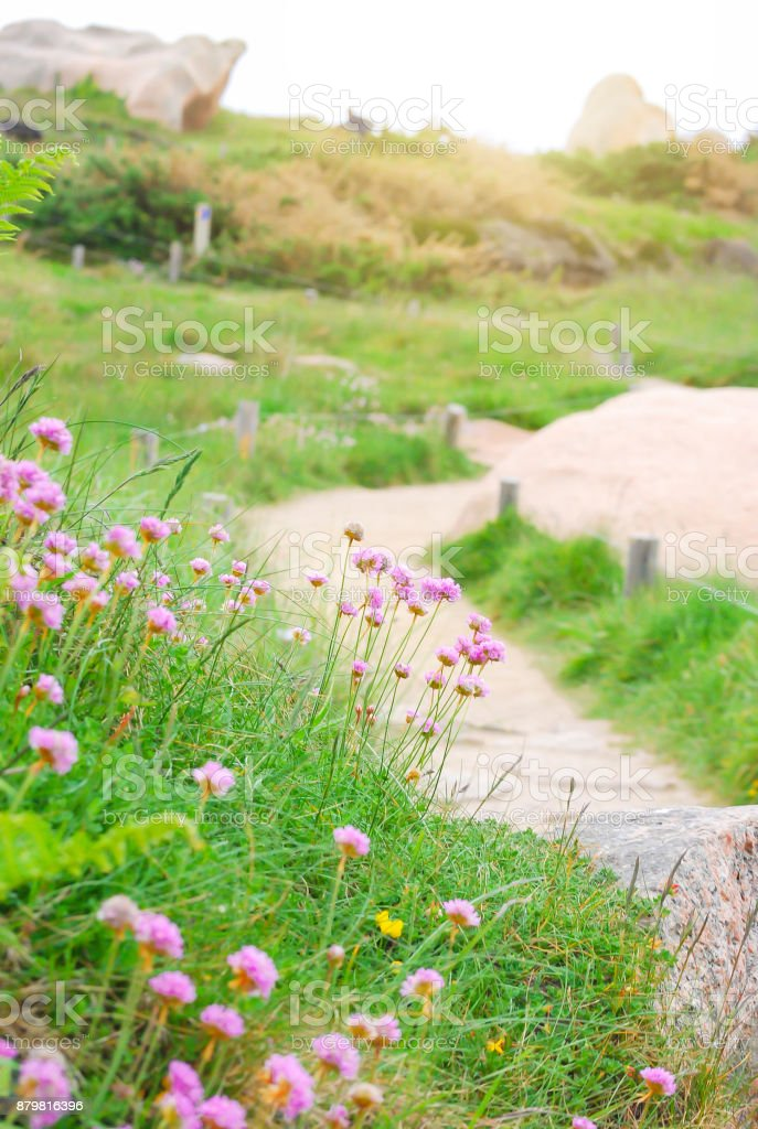 Small pink flower or sea thrist or thrift armeria stock photo