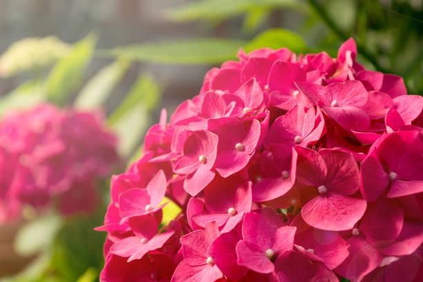 Kleine rosa Blumen blühen gegen die Sonne. – Foto