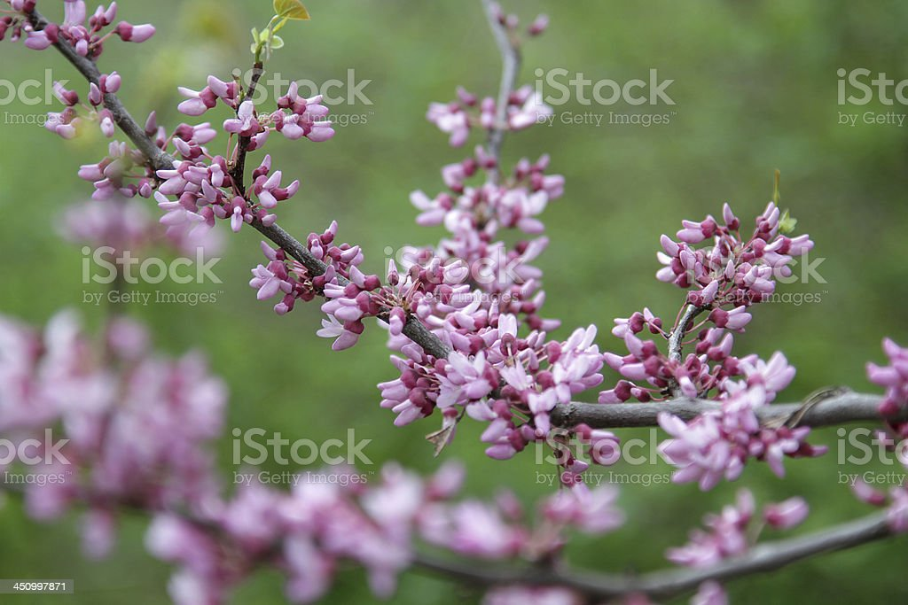 small pink flowers royalty-free stock photo
