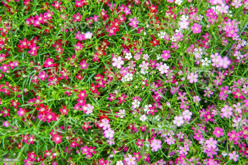 small pink gypso flower stock photo
