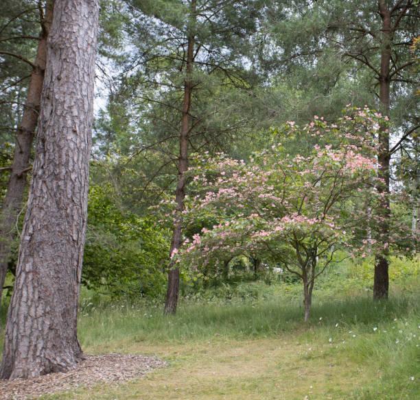 Kleine rosa verlassene Dogwood in Wald-Setting in Knightshayes Court – Foto