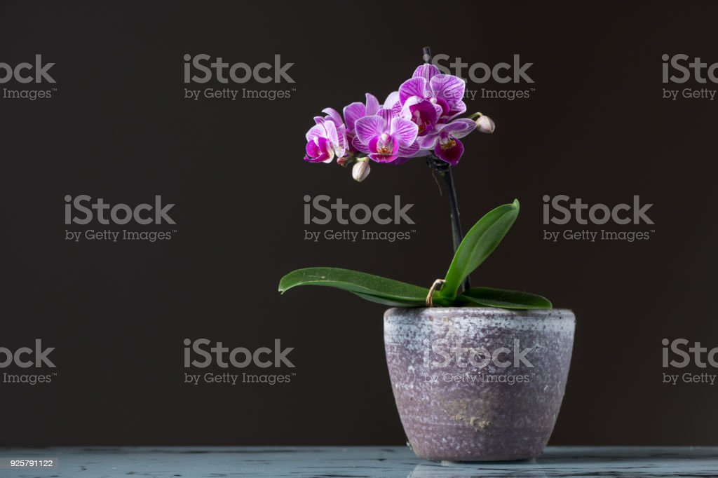 Small pink orchid in a flower pot stock photo more pictures of small pink orchid phalaenopsis in a flower pot royalty free stock photo mightylinksfo