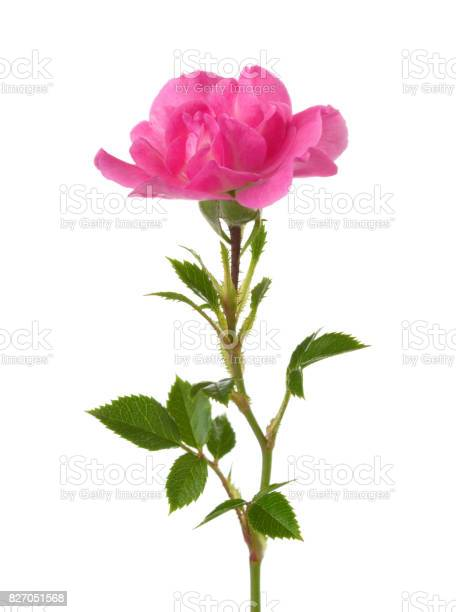 Small pink rose isolated on white picture id827051568?b=1&k=6&m=827051568&s=612x612&h=g nhsgyzoxosnraruacqb4sphq4zkdfjx4cdwxll4lq=