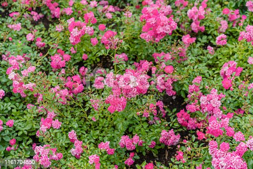 Small pink roses in a city park.