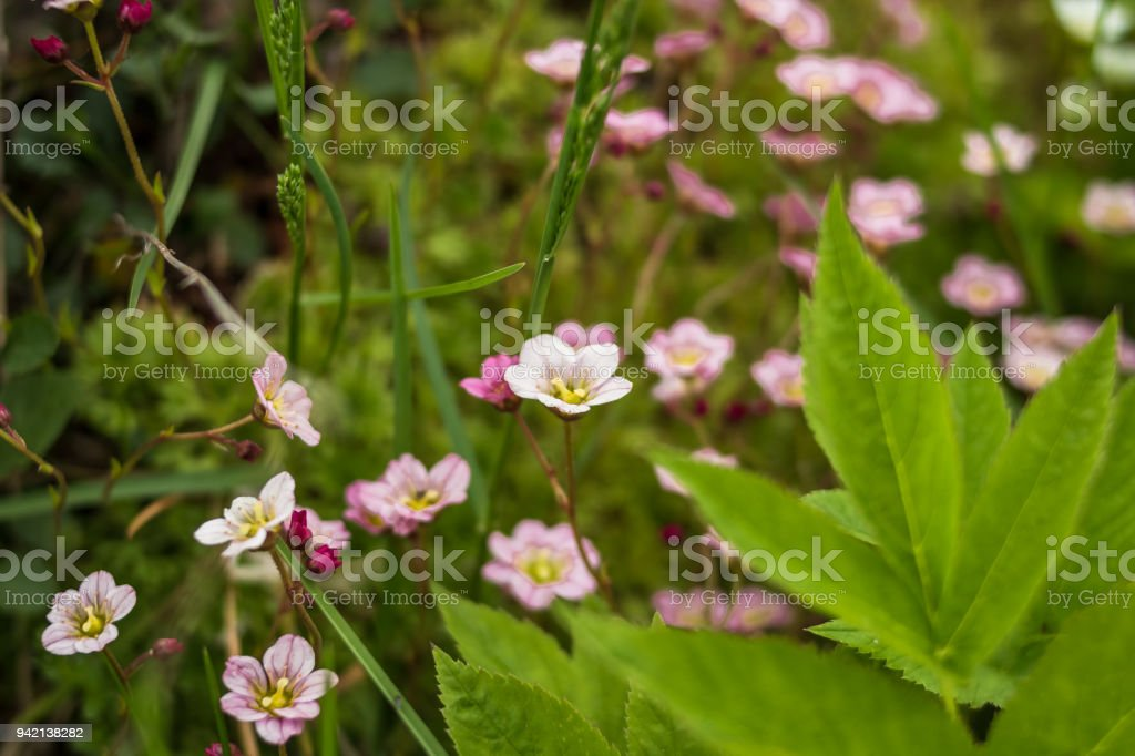 Small pink white spring flowers with leaves in green grass spring small pink white spring flowers with leaves in green grass spring photoass flowers mightylinksfo