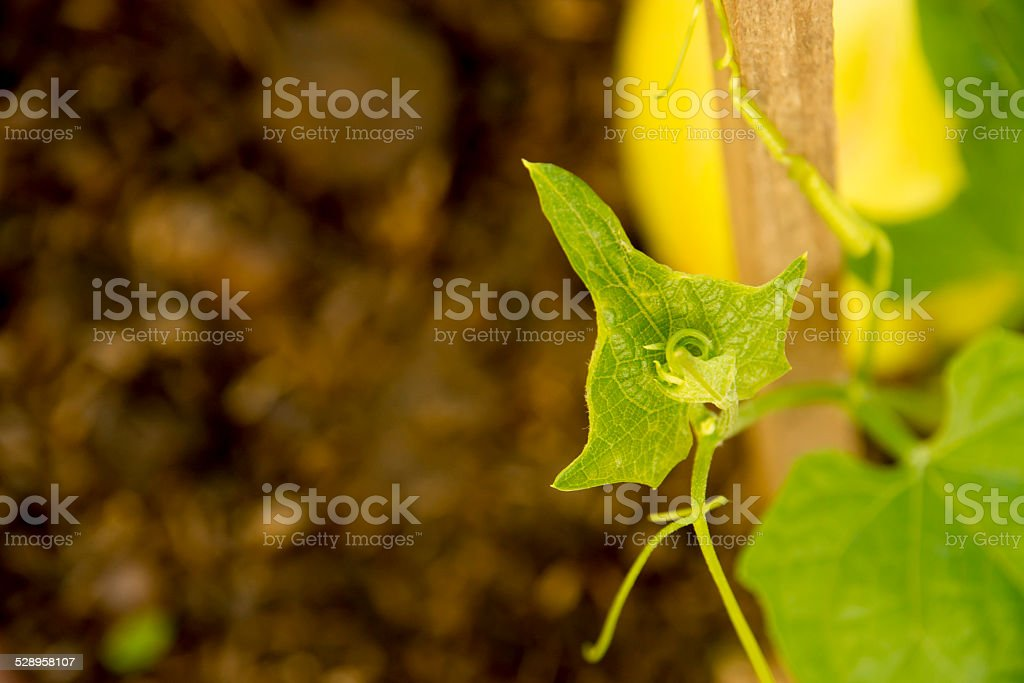 Small plant Chayote stock photo