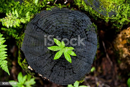 istock Small plant growing from old stump 908579336
