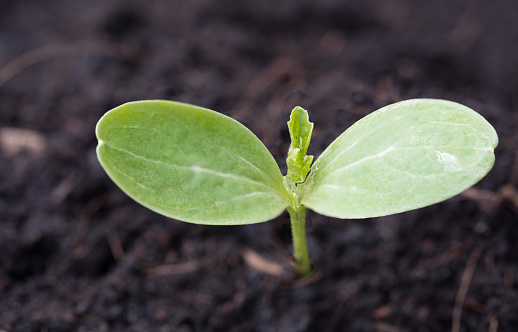 1094263056 istock photo Small plant growing out of soil,agriculture 687658636