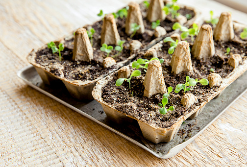 istock Small plats growing in carton chicken egg box in black soil. Break off the biodegradable paper cup and plant in soil outdoors. Reuse concept. 1144856507