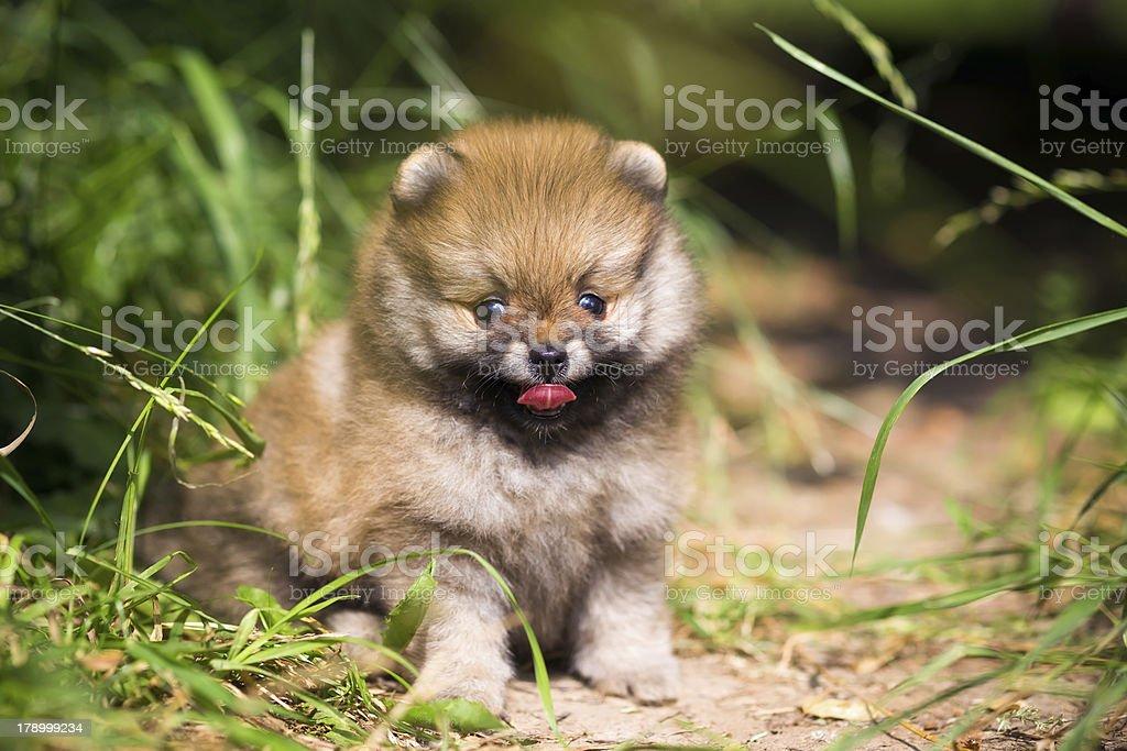 Small Pomeranian puppy in grass royalty-free stock photo