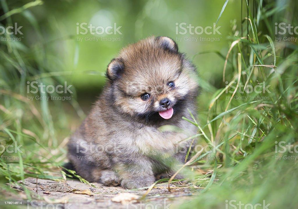 Small Pomeranian puppy royalty-free stock photo