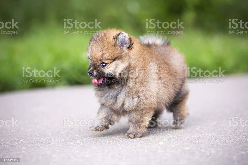 Small Pomeranian puppy walking royalty-free stock photo