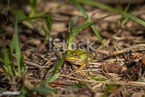 a small pond frog sits on the ground between blades of grass