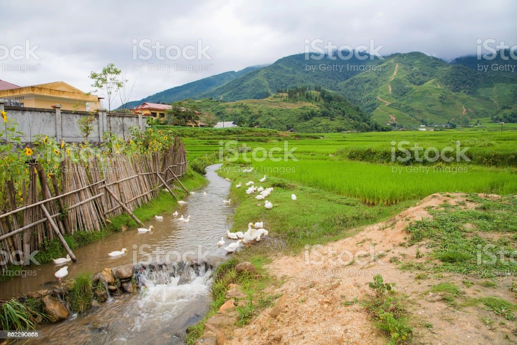 small pond with group of ducks near terraced rice field at Red Dao village in Sapa, Vietnam. Landscape of Hill tribe house near the mountain with space for farming stock photo