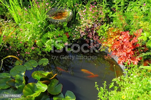 Small pond with koi fish in cottage style garden