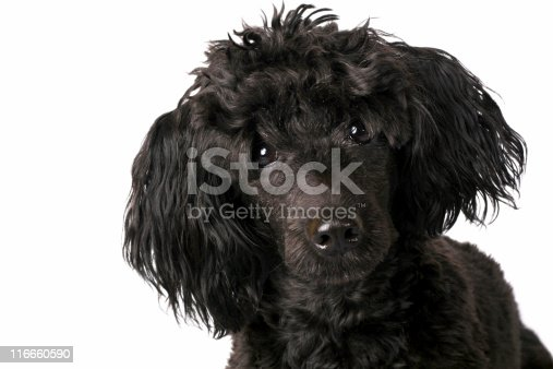 Small Poodle on isolated background