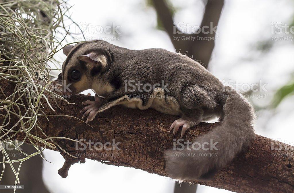 small possum or Sugar Glider royalty-free stock photo