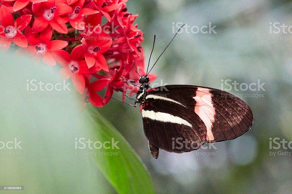 Small Postman Butterfly, Heliconius erato stock photo