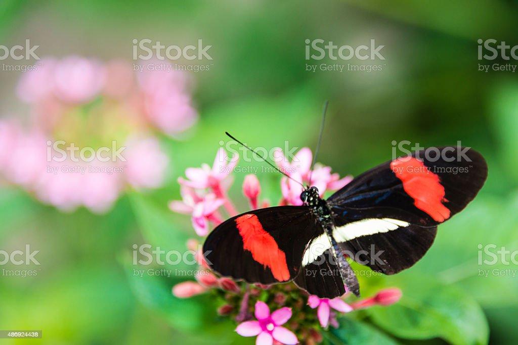 Small Postman  butterfly (Heliconius erato) stock photo