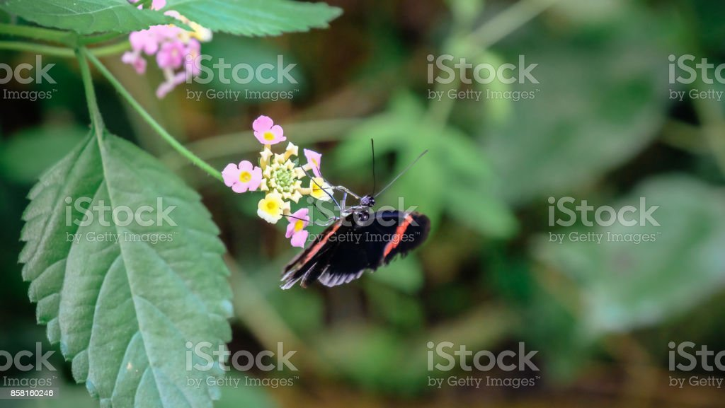 Small Postman butterfly stock photo