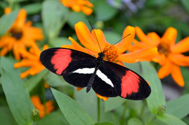 Small Postman Longwing Butterfly stock photo
