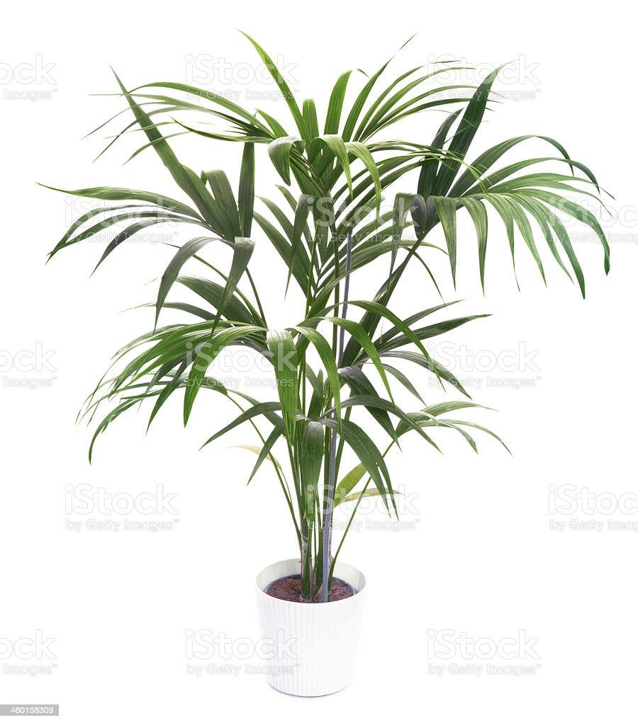 Kentia Palm Tree – Foto