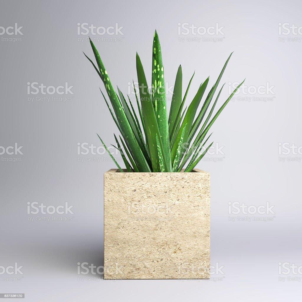 Kleine Topfpflanze - Aloe Vera – Foto