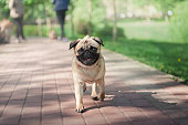 small pug running on a walkway in public park