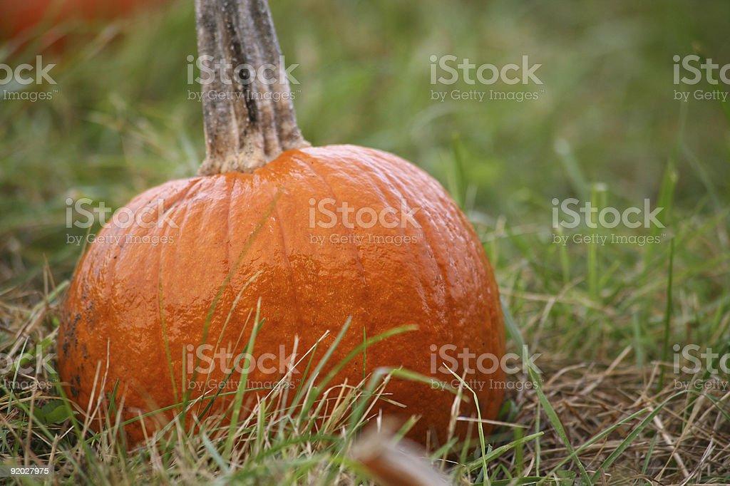 Small Pumkin In Farm Patch stock photo