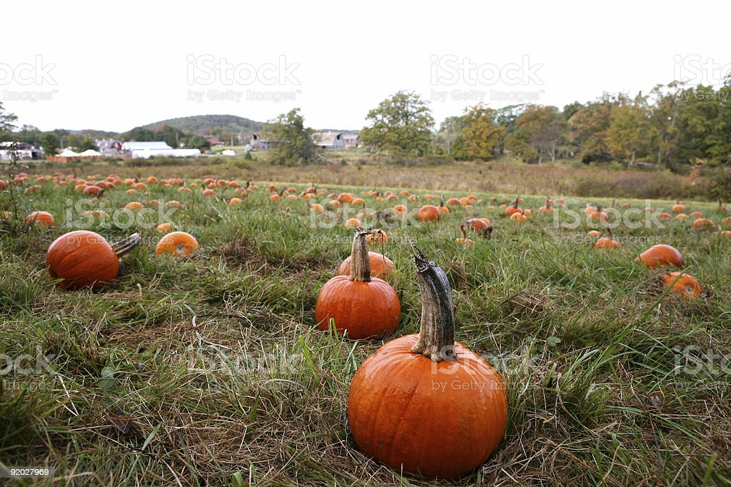 Small Pumkins In Farm Patch stock photo