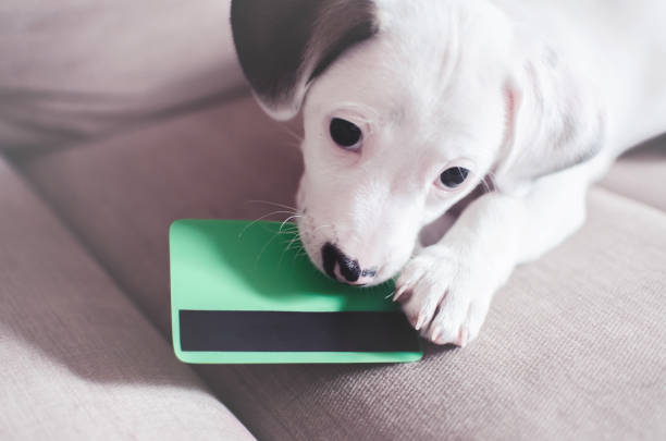 Small puppy dog , jack russell with credit card stock photo