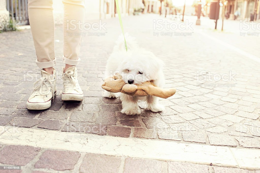small puppy dog walkers happy with her teddy bear stock photo