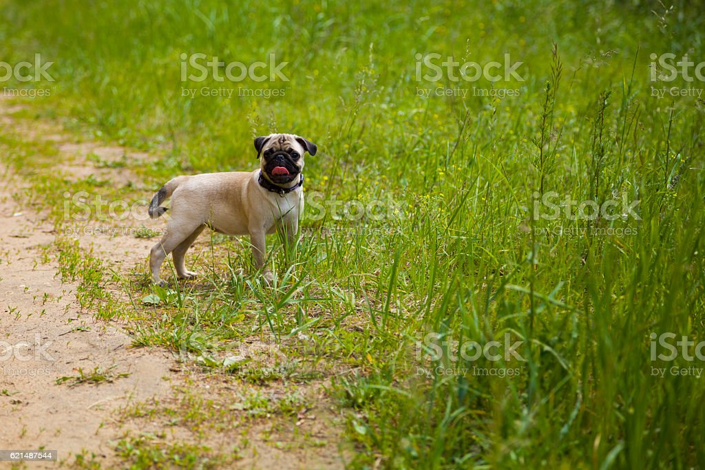 Small puppy pug  on the grass photo libre de droits