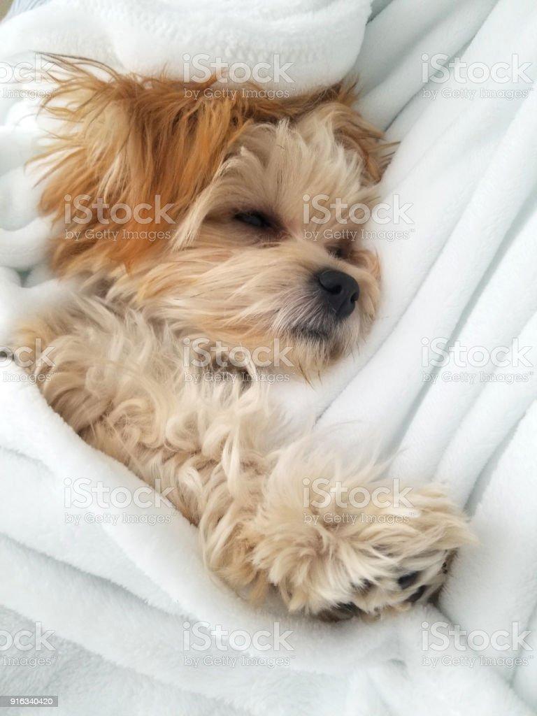 Small puppy sleeping stock photo