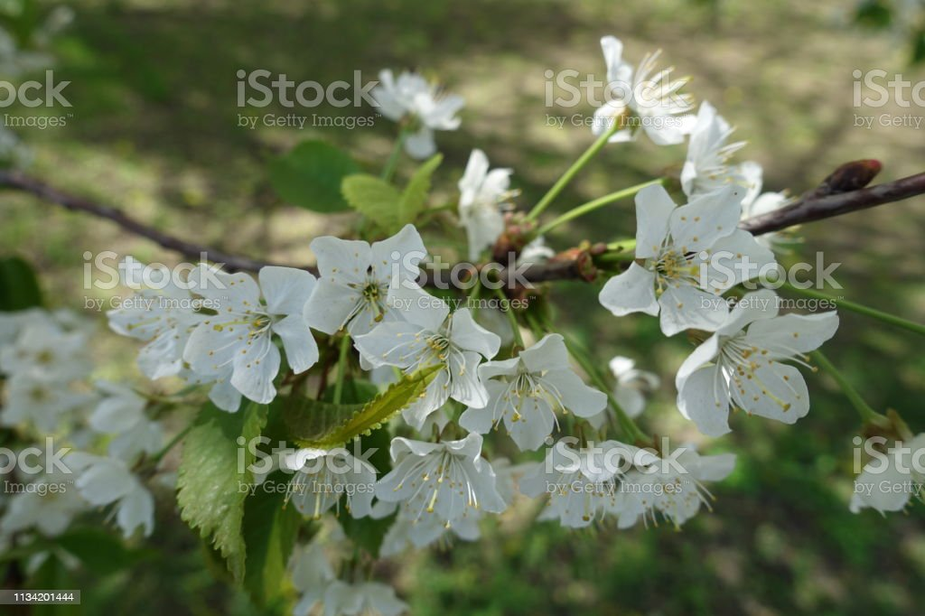 Small Pure White Flowers Of Cherry Tree In Spring Stock Photo