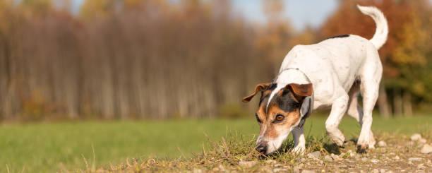 Kleine reinrassige Jack Russell Terrier Hound. Netter Hund ist brach eine Spur im Herbst – Foto