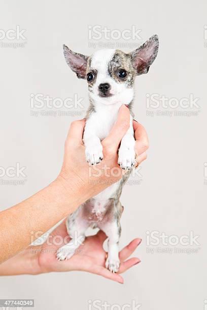 Small purebred puppy picture id477440349?b=1&k=6&m=477440349&s=612x612&h=siw1gxcjdfjqahaxhu6c8ouyi npjrvzzzwfkoer8ms=